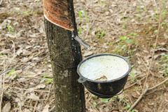 Rubber Tapping. In rubber plantation Stock Image