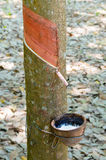 Rubber tapping a rubber tree royalty free stock photo