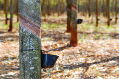 Rubber tree Royalty Free Stock Photos