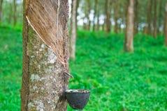 rubber tree Fotografering för Bildbyråer