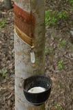 Rubber tree Royalty Free Stock Photo