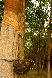 Rubber tree. Tree rubber is Timber economy Royalty Free Stock Images