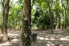 rubber tree Royaltyfri Foto