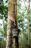 Rubber tree. S(latex) in plantation Royalty Free Stock Photography