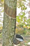 A rubber tree. Tapping latex from a rubber tree in Melaka Malaysia Royalty Free Stock Photos