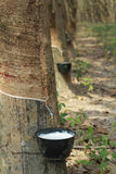 Rubber tree. S(latex) in plantation Stock Images