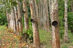 Rubber tree Arkivfoton