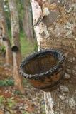 Rubber tree Arkivfoto