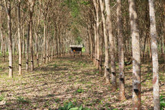 Rubber tree garden plant of south thailand Royalty Free Stock Photos