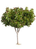 Rubber Tree Royalty Free Stock Image