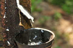 Rubber Tree Stock Photo