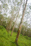 Rubber tree. A scene at rubber plantation Stock Photo