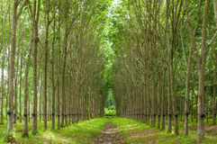 Rubber tree background Royalty Free Stock Photo