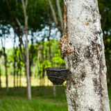 Rubber tree with bowl for latex milk at tropical plantation. Tha Stock Image