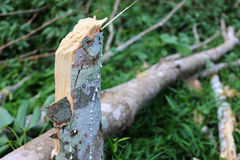 Rubber Tree Broken. Royalty Free Stock Photos