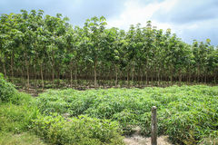 Rubber tree and Cassava or manioc plant Royalty Free Stock Photo