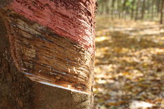 Rubber tree. Closeup in Thailand royalty free stock photo