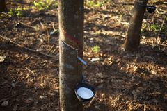 Rubber tree cup harvest royalty free stock image