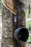 Rubber tree for cut in garden Royalty Free Stock Photo