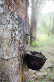 Rubber tree. Cutted rubber in the rubber plantation Royalty Free Stock Image