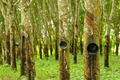 rubber tree för bakgrund Arkivbilder