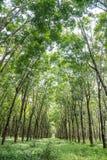 rubber tree för koloni Arkivfoto