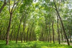 rubber tree för koloni Arkivfoton