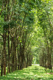 rubber tree för koloni royaltyfria bilder
