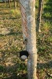 rubber tree för latex Arkivfoton