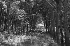 rubber tree för latexproducent arkivbilder