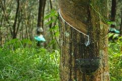 rubber tree för latexproducent Royaltyfri Bild