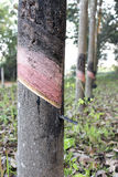 rubber tree för latexproducent Arkivbilder