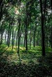 rubber tree för latexproducent royaltyfria foton