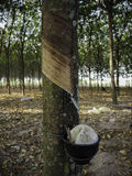 rubber tree för latexproducent Royaltyfri Bild