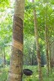 rubber tree för latexproducent Royaltyfri Foto
