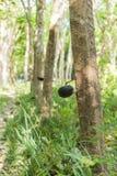 rubber tree för latexproducent Fotografering för Bildbyråer