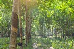 rubber tree för latexproducent Arkivfoton