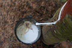 rubber tree för latexproducent royaltyfri fotografi