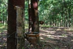 rubber tree för latexproducent Arkivfoto