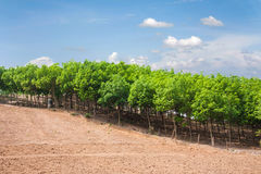rubber tree farm Royalty Free Stock Images