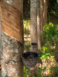 Rubber tree,farm. Rubber bowl on tree,farm Stock Photos