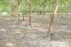 Rubber tree farm Stock Images