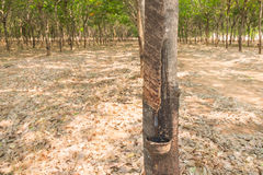 Rubber tree farm at thailand as a source of natural rubber Stock Images