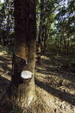Rubber tree field with white latex Royalty Free Stock Photos