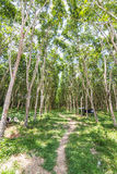 Rubber tree forest Royalty Free Stock Photography