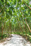 Rubber tree forest Stock Photography