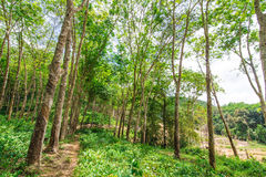 Rubber tree forest Royalty Free Stock Images