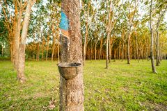 Rubber tree garden Royalty Free Stock Photo