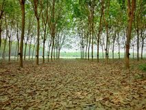 Rubber tree and green leaf. farmer farming in Thailand. 2. Rubber tree and green leaf. farmer farming in Thailand royalty free stock photography