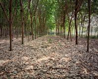 Rubber tree and green leaf. farmer farming in Thailand. 2. Rubber tree and green leaf. farmer farming in Thailand royalty free stock images